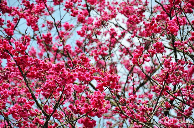 2012陽明山花季22.jpg