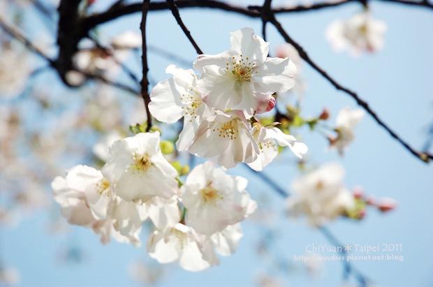2011陽明山花季02.jpg