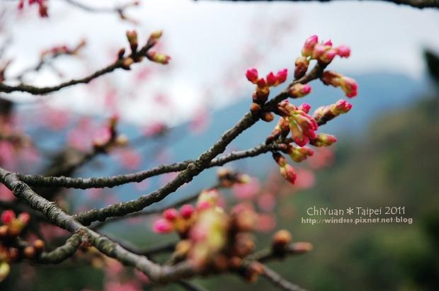 2011陽明山花季19.jpg