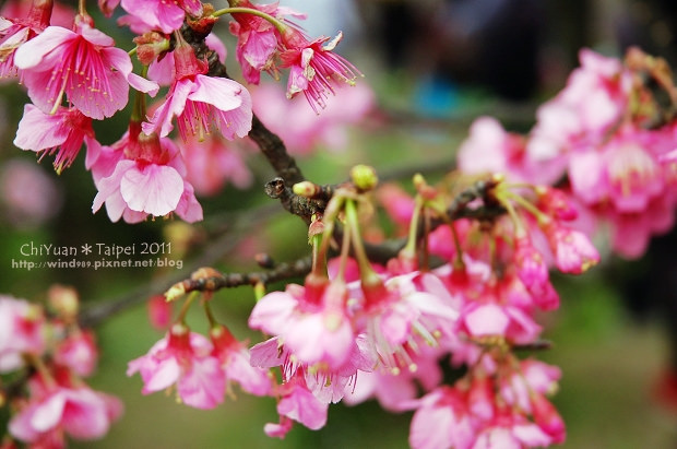 2011陽明山花季20.jpg