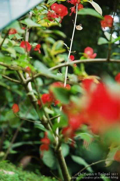冬紅03.jpg