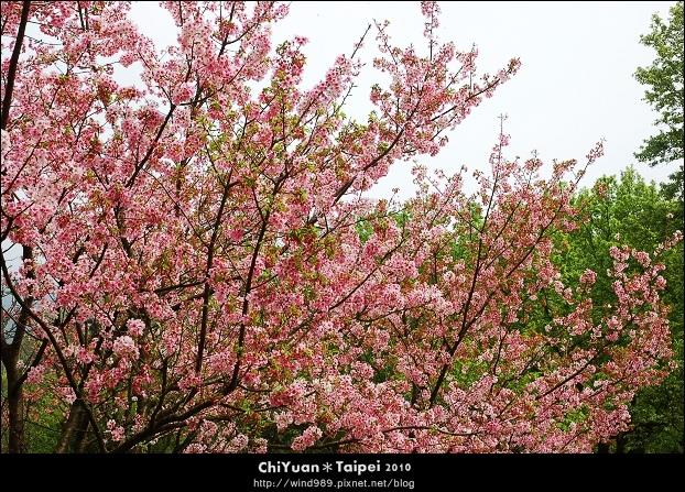 2010陽明山花季07.jpg