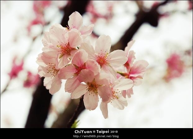 2010陽明山花季11.jpg