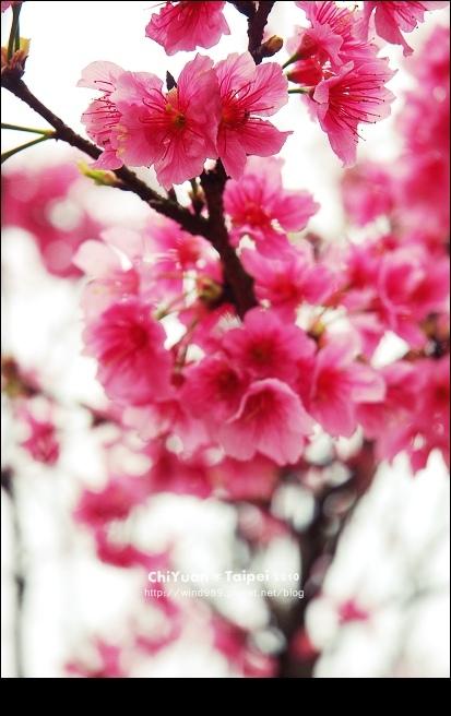 2010陽明山花季13.jpg