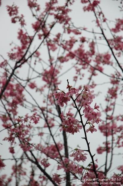 陽明山櫻花林08.jpg