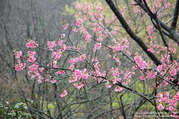 陽明山櫻花林09.jpg