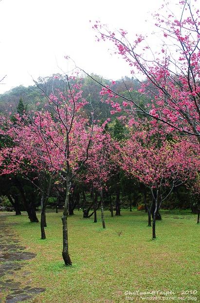 陽明山櫻花林10.jpg