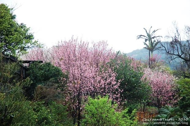 陽明山櫻花林11.jpg