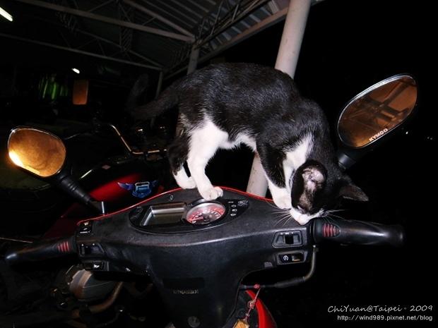駕駛機車の貓02.jpg