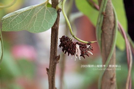 2009陽明山蝴蝶季08.JPG