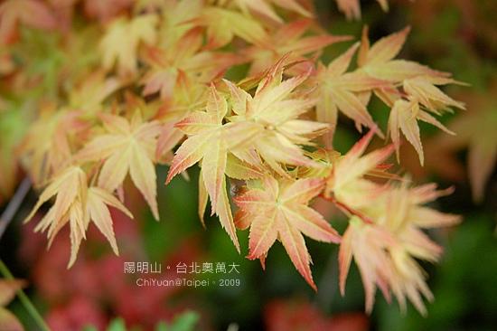 台北奧萬大。楓紅08