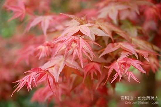 台北奧萬大。楓紅09