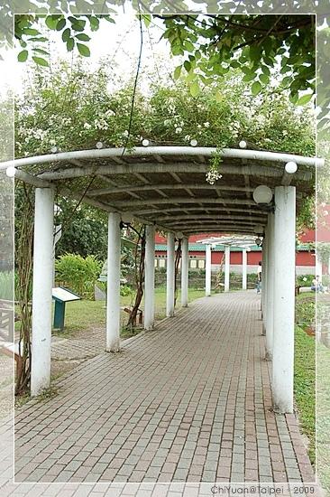 台北植物園。野薔薇02