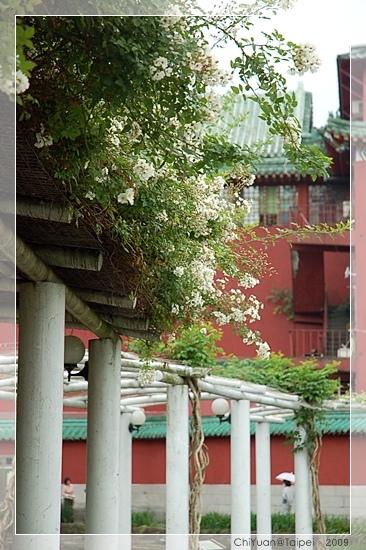 台北植物園。野薔薇03