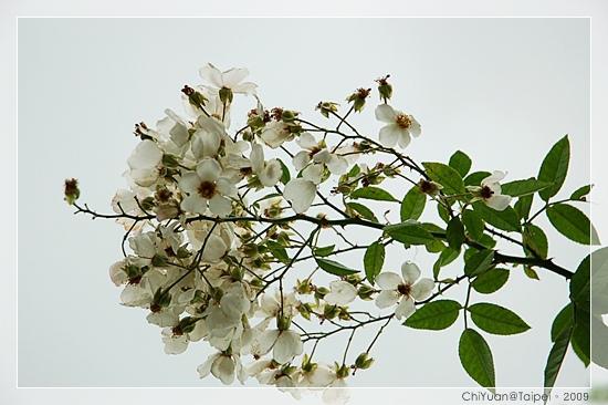 台北植物園。野薔薇04