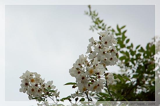 台北植物園。野薔薇05