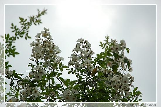 台北植物園。野薔薇06