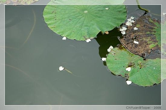 台北植物園。野薔薇07