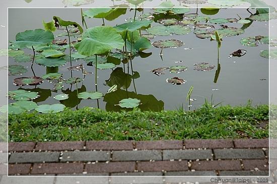 台北植物園。野薔薇08