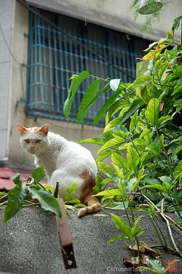 Cat。貓薄荷。騎在牆頭