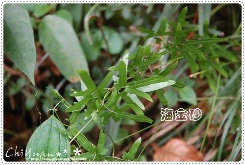 DSC_9380海金砂