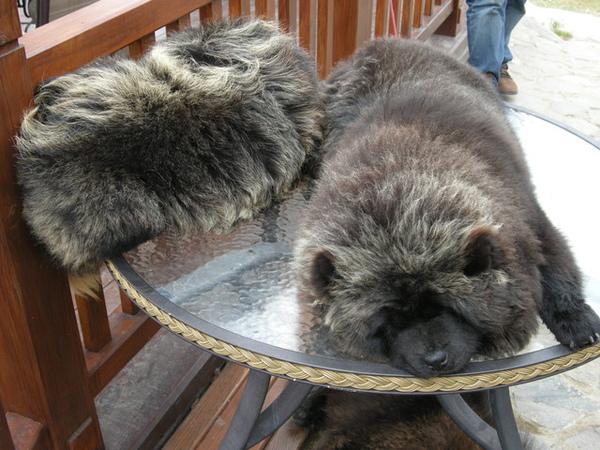 長得像熊的鬆獅犬…之前被染成熊貓的毛色褪掉了不少