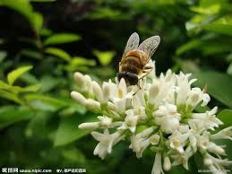 「蜜蜂採花蜜」的圖片搜尋結果