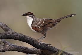 「chestnut-crowned babbler」的圖片搜尋結果