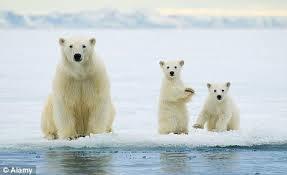 「北極熊」的圖片搜尋結果