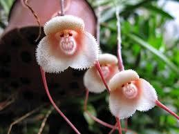 「Monkey Orchid」的圖片搜尋結果