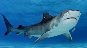 「shark」的圖片搜尋結果