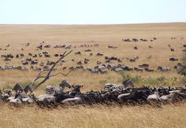 「肯亞的野生動物四處遷徙」的圖片搜尋結果