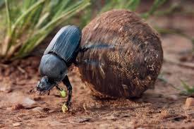 「糞金龜」的圖片搜尋結果