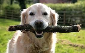 「dog chasing stick」的圖片搜尋結果