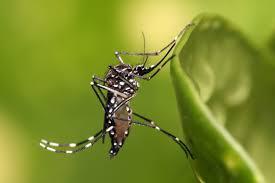 「Aedes aegypti」的圖片搜尋結果