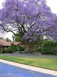 「tree on front yard」的圖片搜尋結果