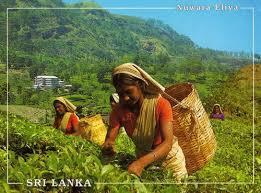 「斯里蘭卡茶」的圖片搜尋結果