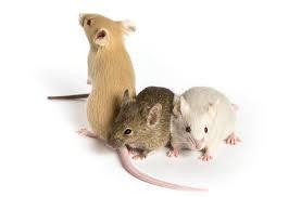 「mice」的圖片搜尋結果