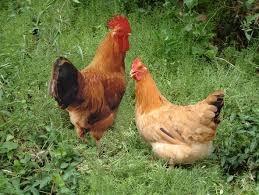 「雞」的圖片搜尋結果