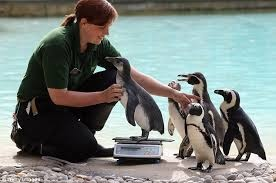 「zsl-london-zoo Keepers have been very busy weighing and measuring all our animals today as part of the big annual weigh in」的圖片搜尋結果
