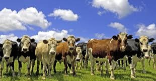 「new zealand cows」的圖片搜尋結果