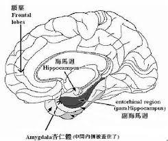 「大腦海馬迴」的圖片搜尋結果