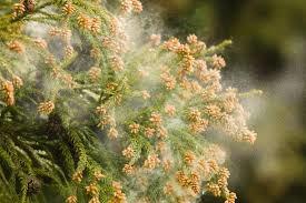 「花粉症」的圖片搜尋結果