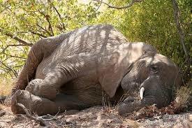 「象睡姿」的圖片搜尋結果