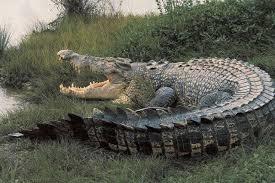 「鹹水鱷(」的圖片搜尋結果