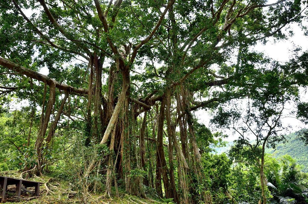 知本國家森林遊樂 千根榕
