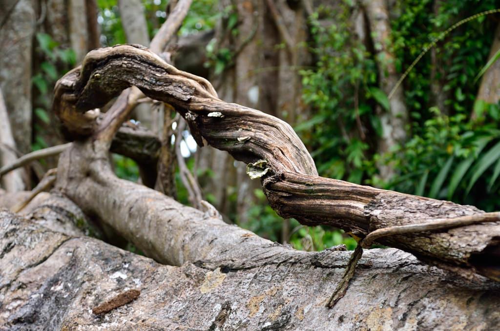 知本國家森林遊樂 百年酸藤
