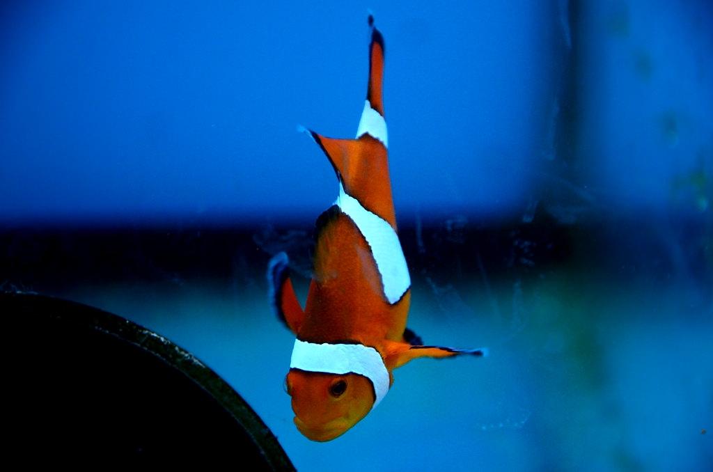 七星柴魚博物館 小丑魚