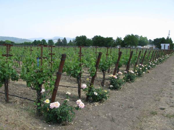 種玫瑰花防葡萄病蟲害