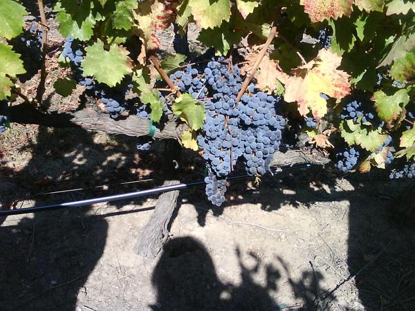 Cabernet Franc: 25 year-old vine